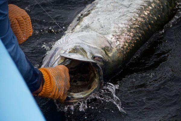 Tarpon Fishing Trinidad –Begleitete Tour vom 14.08.-22.08.2020