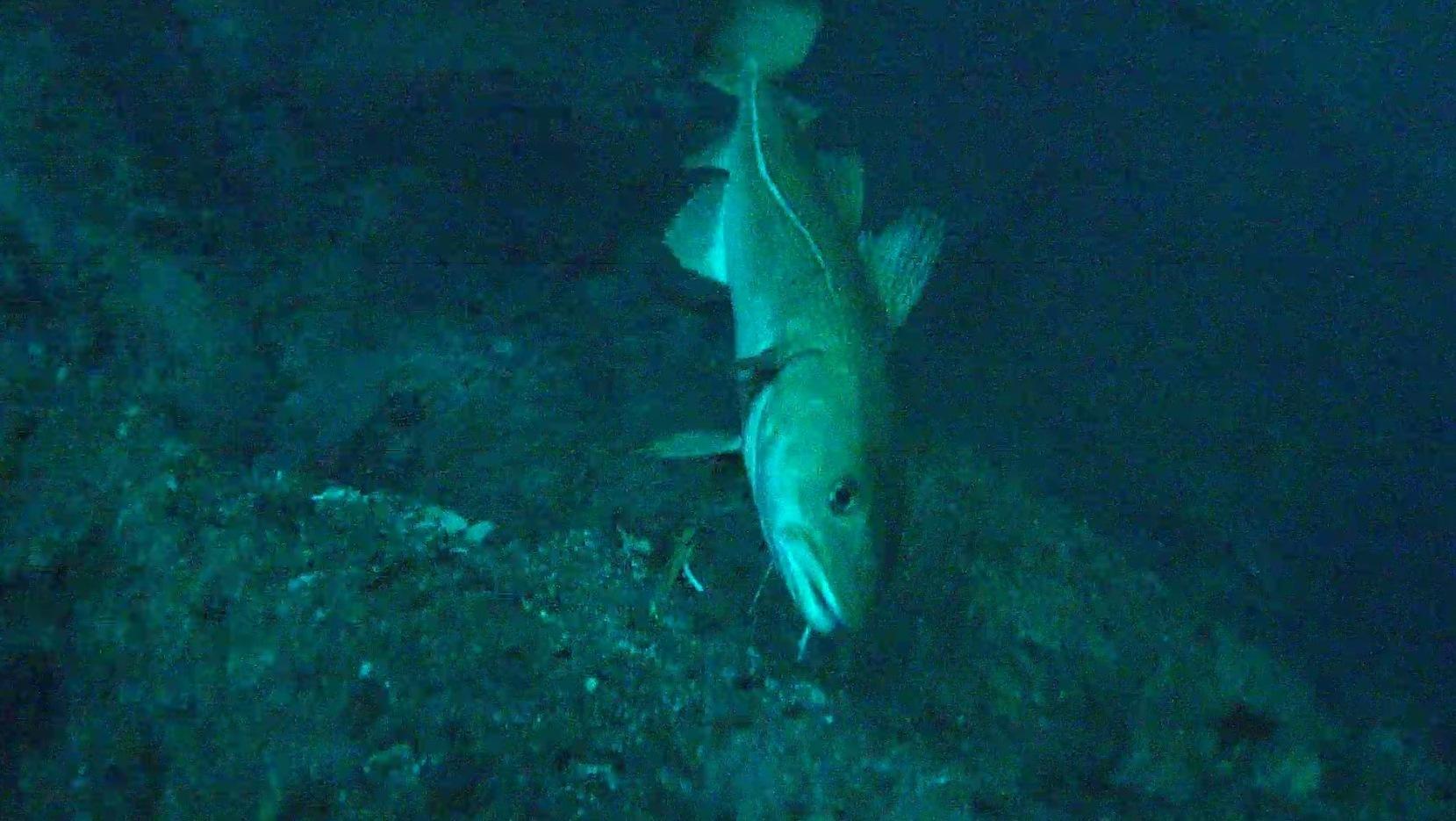 Neues Video — Unterwasseraufnahmen aus dem Nordatlantik
